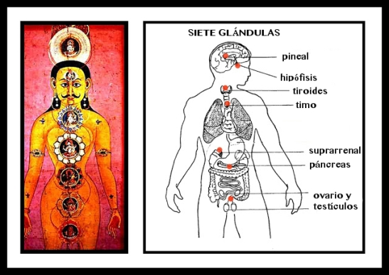Seven Chakras and Glands